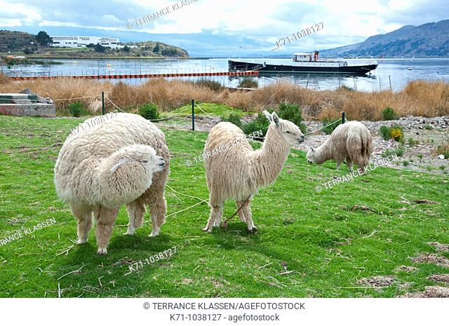 Llamas grazing in a pasture with the restored historic British gunship Yavari moored in Puno, Peru, South America