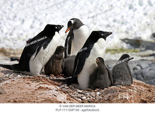 Gentoo Penguin Pygoscelis papua intruding Adélie Penguin Pygoscelis adeliae colony with chicks on nest in rookery at Petermann Island, Antarctica