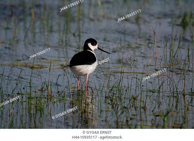 Austria, Burgenland, avian, plover, Himantopus, Black-winged Stilt, Himantopus himantopus, water