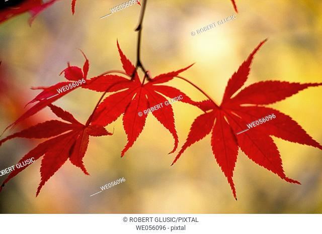 Fall leaves, Lithia Park. Ashland, Oregon, USA