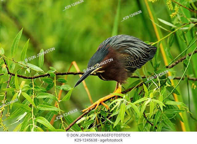Green heron Butorides striatus