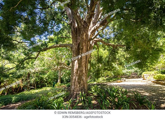 Trees and other fauna at the Kirstenbosch Botanical Gardens in Cape Town, South Africa