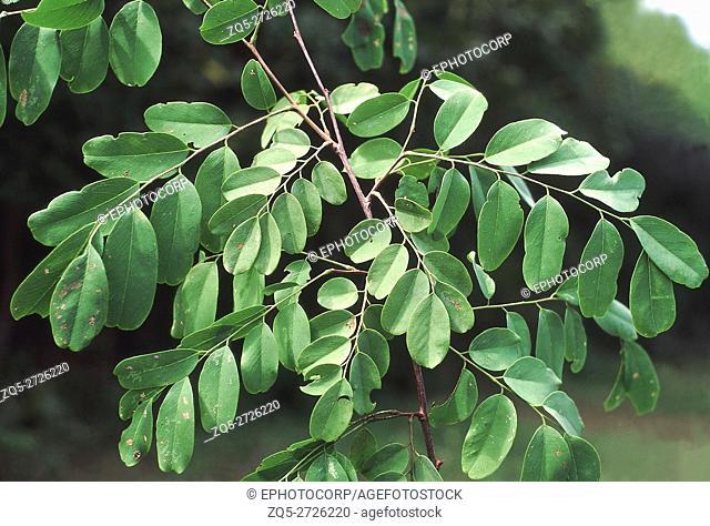 Leaves. Dalbergia Lanceolaria. Family: Fabaceae. A moderate sized deciduous tree. Very similar to Dalbergia Paniculata