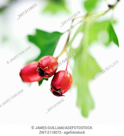 Hawthorne, Crataegus monogyna, berries