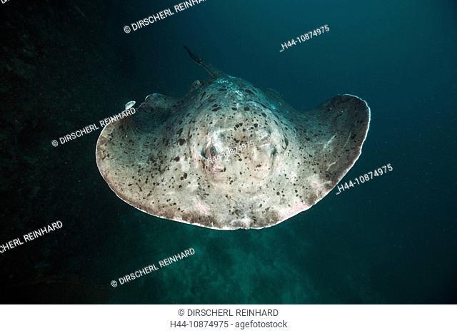 Schwarzpunkt-Stechrochen, Taeniura meyeni, Ellaidhoo Hausriff, Nord Ari Atoll, Malediven, Blotched Fantail Stingray, Taeniura meyeni, Ellaidhoo House Reef