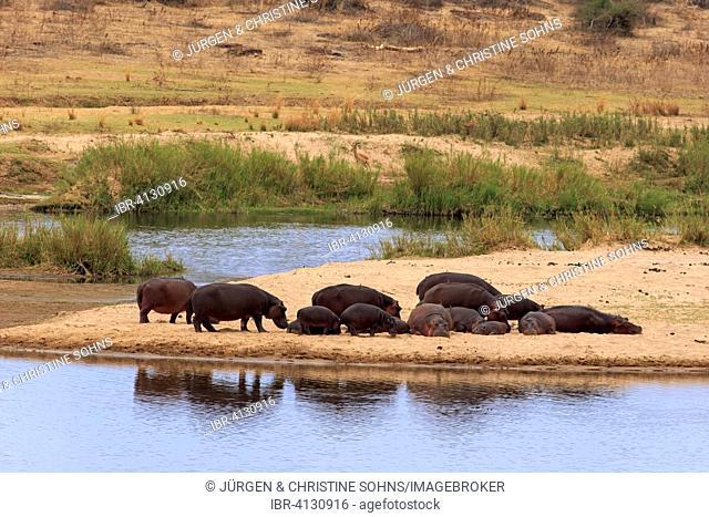 Hippopotamuses (Hippopatamus amphibius), group on sandbank, Kruger National Park, South Africa
