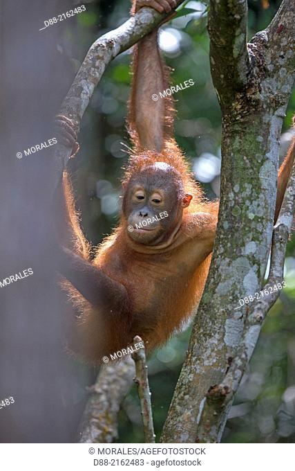 Asia,Malaysia,Borneo,Sabah,Sandakan,Sepilok Orang Utan Rehabilitation Center,Northeast Bornean orangutan (Pongo pygmaeus morio),young