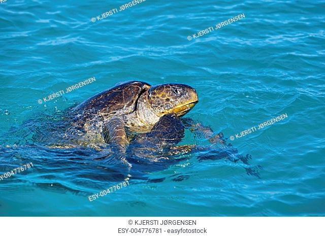 Mating sea turtles