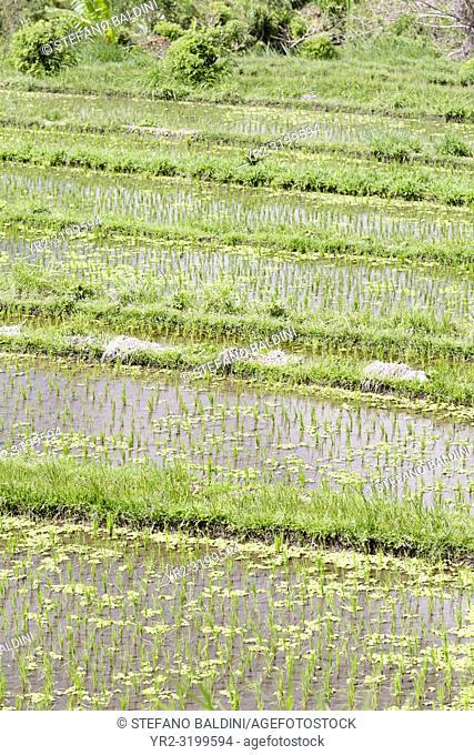 Rice terraces, Tirtaganga, Bali, Indonesia