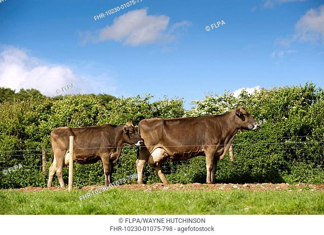 Domestic Cattle, Brown Swiss dairy cows, heading to milking parlour along fenced track, Dumfries, Dumfries and Galloway, Scotland, June