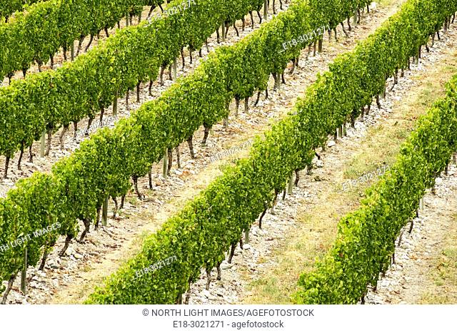 Canada, BC, Oliver. Elevated view of rows of grape vines in the premier wine growing area of British Columbia