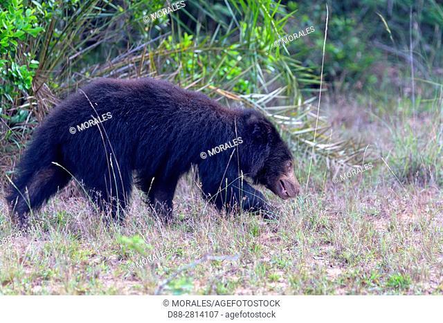 Sri Lanka, Northwest Coast of Sri Lanka, Wilpattu national patk, Sloth bear (Melursus ursinus),