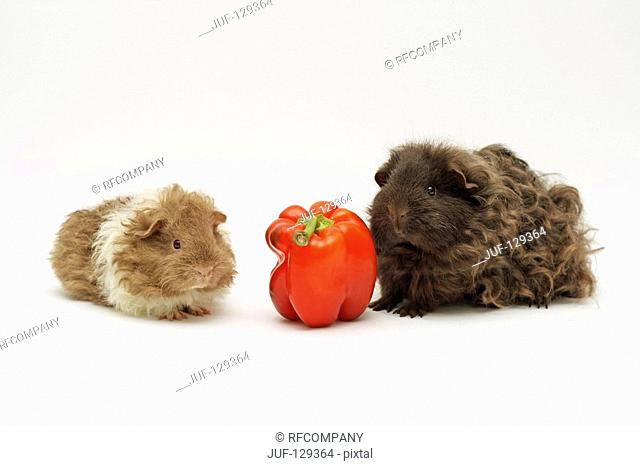 Texel guinea pig and cut with capsicum