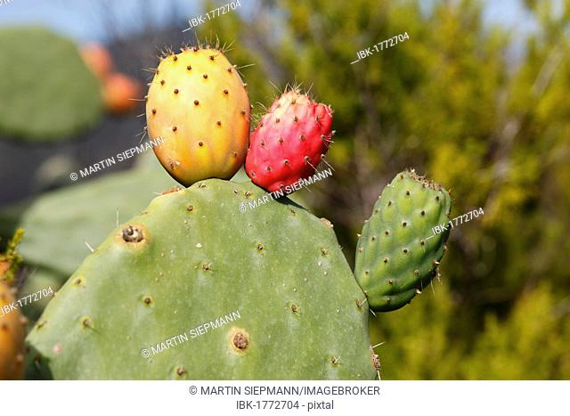 Fruits of red, yellow and green colour on a prickly pear cactus (Opuntia ficus-indica), La Gomera island, Canary Islands, Spain, Europe