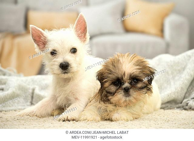 West Highland White Terrier and Shih-Tzu puppies West Highland White Terrier and Shih-Tzu puppies