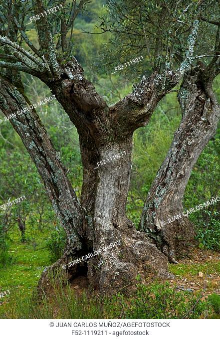 Olive grove, Andujar Natural Park, Jaen, Andalusia, Spain
