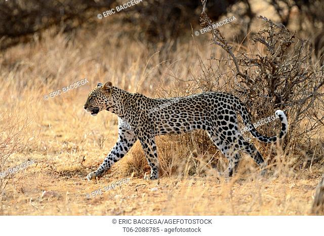 Leopard waklking in the bush (Panthera pardus), Samburu National Reserve, Kenya, Africa, October
