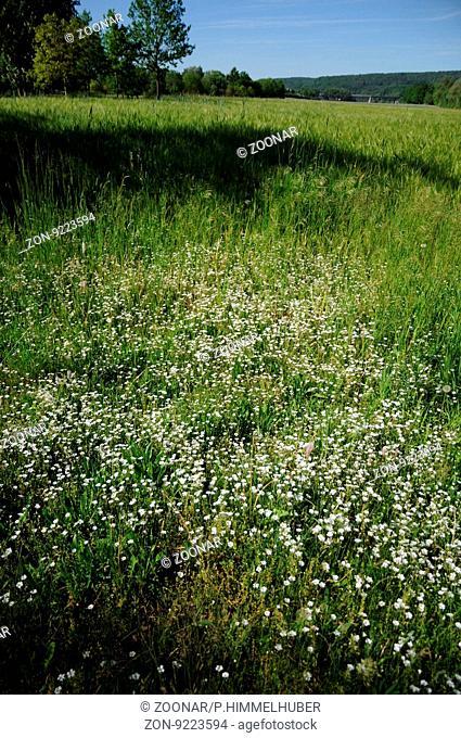 Stellaria graminea, Grassleaf stitchwort
