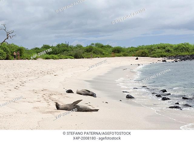 Galapagos sea lion, Zalophus wollebaeki, La Loberia, Beach, San Cristobal Island, Galapagos Islands, Ecuador