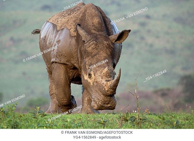 White Rhinoceros Charge Ceratotherium simum Hluhluwe-Imfolozi Game Reserve, Kwazulu-Natal, South Africa