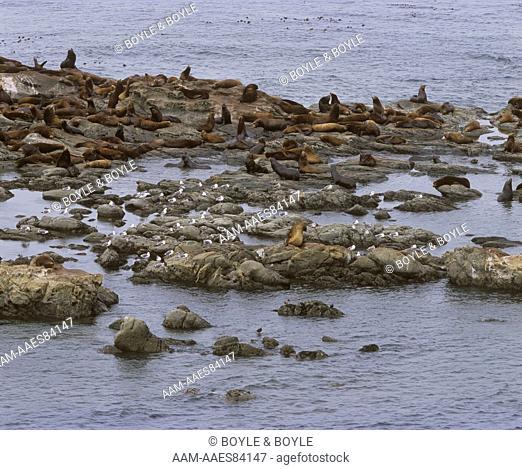California Sea Lions (Zalophus californianus)on Shell Island, Cape Arago, OR, Oregon (and seagulls)