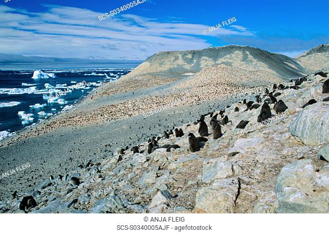 Huge colony of AdÈlie Penguin chicks Pygoscelis adeliae waiting for their parents to retrun and feed them Paulet Island, Weddell Sea