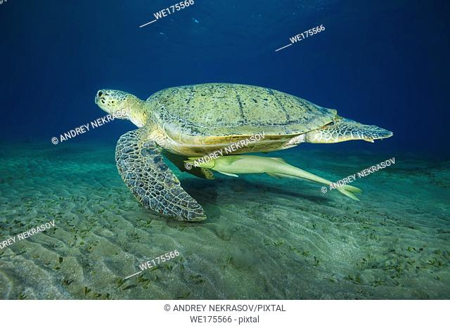 Green Sea Turtle, Chelonia mydas with Remora fish, Echeneis naucrates swim over sandy bottom in the blue water. Red Sea, Abu Dabab, Marsa Alam, Egypt, Africa