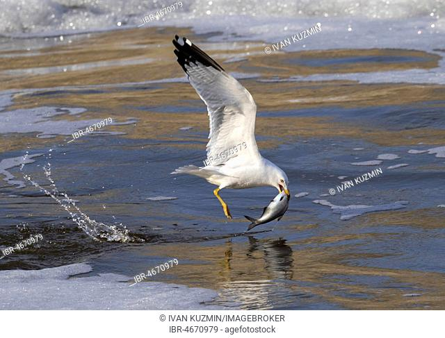 Ring-billed gull (Larus delawarensis) hunting in a freezing stream with fish as prey, Saylorville lake, Iowa, USA