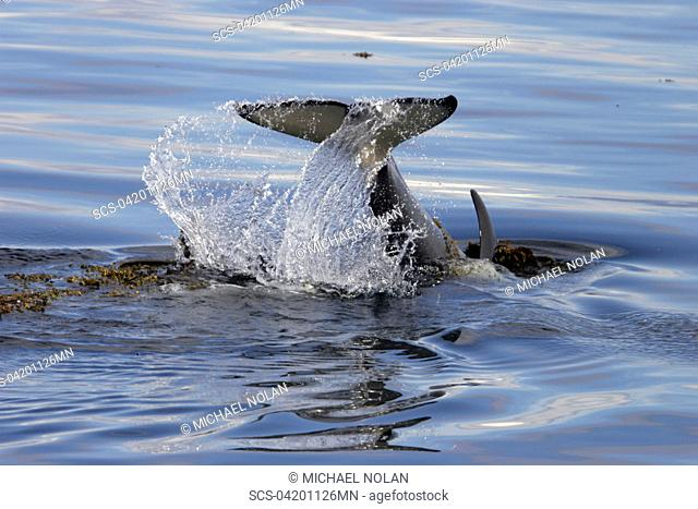 Young Orca Orcinus orca tail-slapping among kelp in Chatham Strait, southeast Alaska, USA