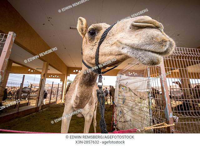 Close up view of a camel at the Al Ain Camel Market, located in Abu Dhabi, UAE
