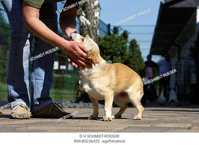 mixed breed dog Canis lupus f. familiaris, woman bending down to stroke a dog in a sanctuary, Germany