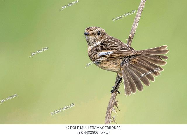 African stonechat (Saxicola torquata) female fans out her tail, Lake Neusiedl, Burgenland, Austria