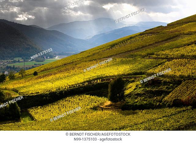 Vineyards near Colmar in autumn, foothills of the Vosges, Alsace, France