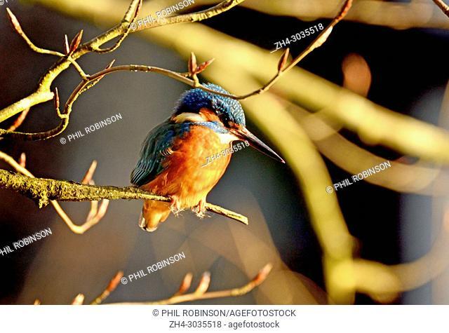 Kingfisher (Alcedo atthis) Kent (Loose Village, near Maidstone) UK. January