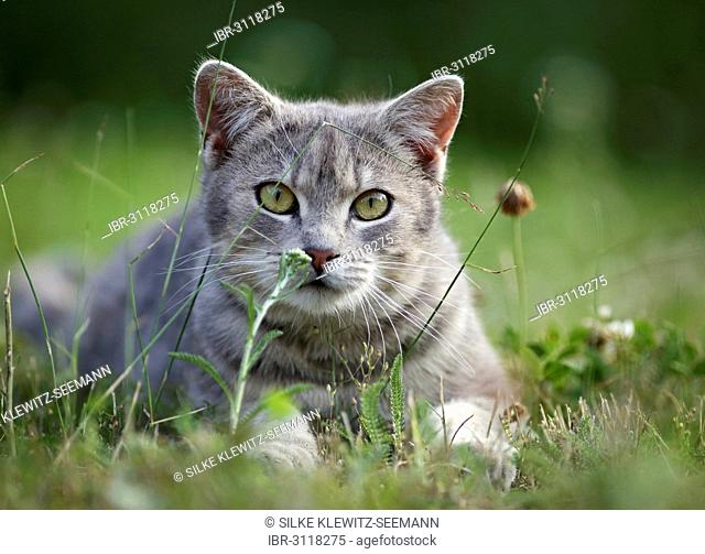 Grey tabby cat lying on a meadow