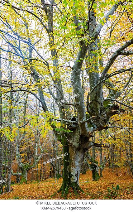 Beechwood in autumn. La Sia mountain pass. Collados del Ason Natural Park. Cantabria, Spain