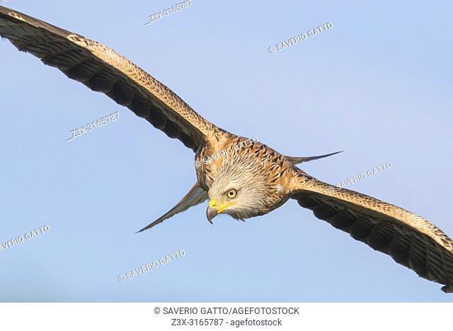 Red Kite (Milvus milvus), immature in flight