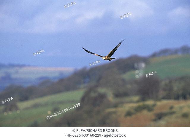 Red Kite Milvus milvus In flight over hillside - Tregaron, Wales - December