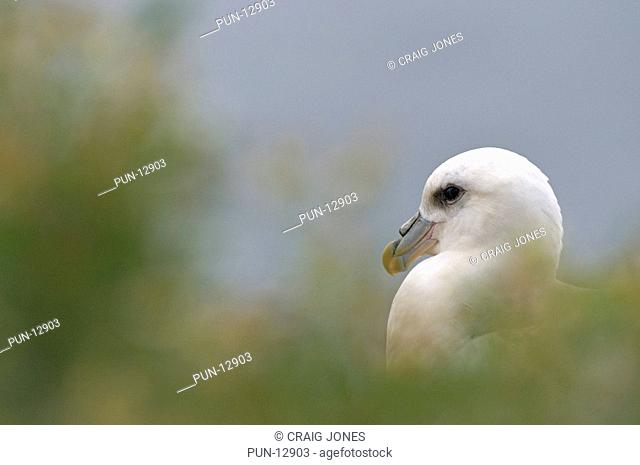Fulmar Fulmarus glacialis looking out to sea on the island of Staple, part of the Farne Islands, Northumberland