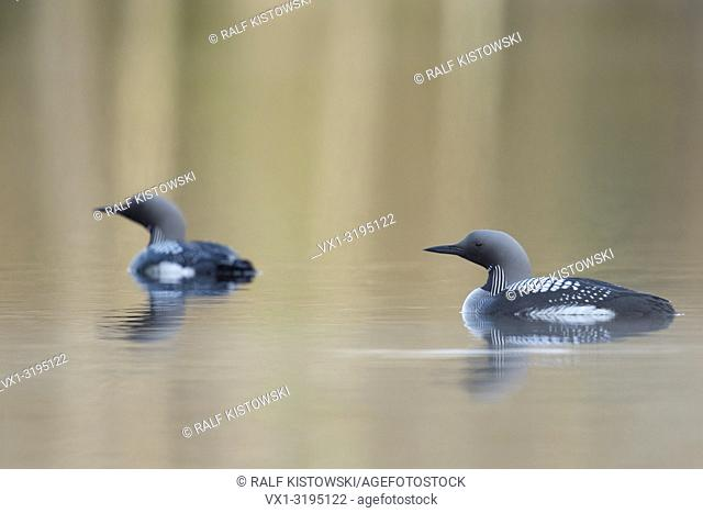 Black-throated Loon / Arctic Loon (Gavia arctica), pair, couple in breeding dress, swimming on calm water, attentive, Sweden, Scandinavia