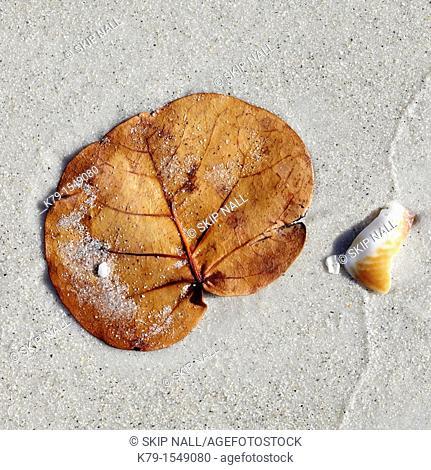 Close up of sea grape leaf on the beach