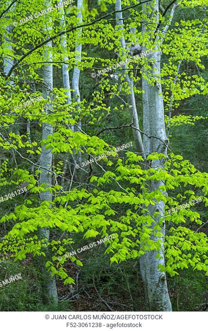 Beech - Haya (Fagus sylvatica), El Retaule Beech Forest, La Fou Ravine, The Ports Natural Park, Terres de l'Ebre, Tarragona, Catalunya, Spain