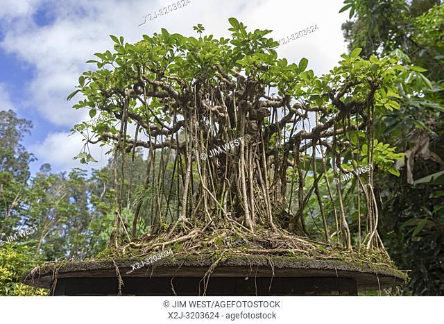 Kurtistown, Hawaii - A dwarf schefflera bonsai in the form of a banyan tree at the Fuku-Bonsai Cultural Center, a bonsai nursery and educational center