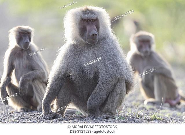 Africa, Ethiopia, Rift Valley, Awash, Hamadryas baboon (Papio hamadryas), Dominant male with two other monkeys