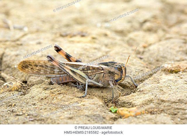 Albania, Pointe Rodonit, Locust (Locusta migratoria)