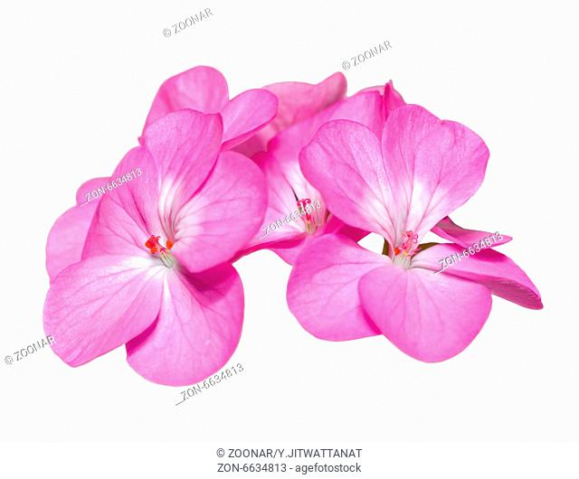 Pink Geranium ( Palargonium x hortorum ) flowers isolated on white