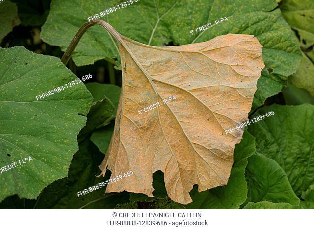 Butterbur rust, Coleosporium petasitis, on the leaf underside of large butterbur leaves, Petasites hybridus, Berkshire, England, August