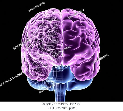 Brain. Computer artwork of a frontal view of a healthy human brain, half-overlaid with a wireframe. At top are the left and right hemispheres of the cerebrum