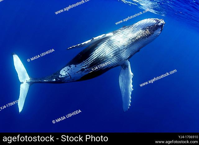 humpback whale, Megaptera novaeangliae, offshore, Hawaii, USA, Pacific Ocean