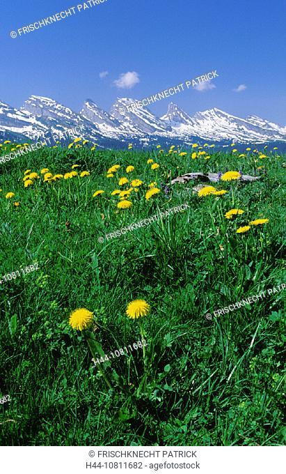 alpine, Alps, broadness, cheers, Churfirsten, dandelion, east Switzerland, Europe, flora, flower, flowers, Gamplut